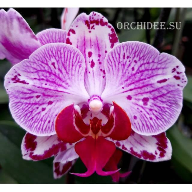 Doritaenopsis DTPS 002