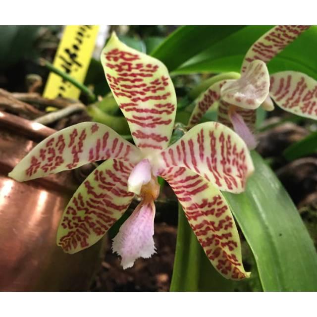 Phalaenopsis hieroglyphica x sib