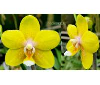 Phalaenopsis I-Hsin Cutie Honey