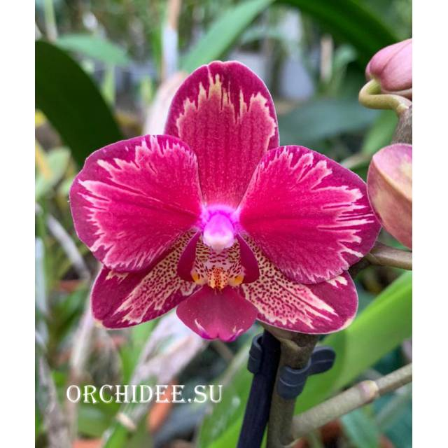 Phalaenopsis PHM 161 Intrigue