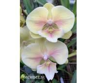 Phalaenopsis PH 316 Big Lip