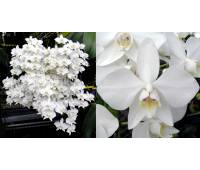 Phalaenopsis amabilis x phalaenopsis amabilis