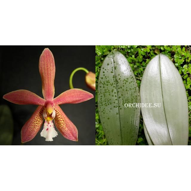 Phalaenopsis Bronze Maiden