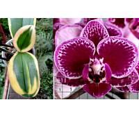 Phalaenopsis Chia E Yenlin variegata