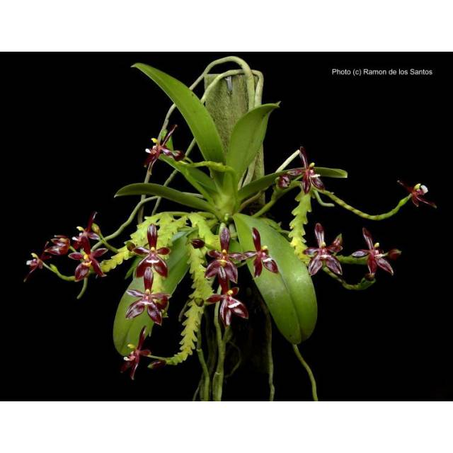 Phalaenopsis cornu-cervi fma. chattaladae (4N)