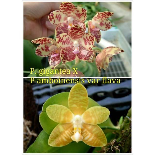 Phalaenopsis David Lim Flava