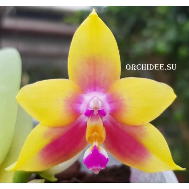 Phalaenopsis KS Happy Eagle x Hawaii Dragon Girl