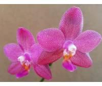 Phalaenopsis Ember