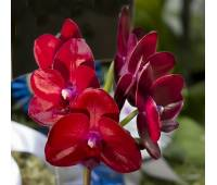 Phalaenopsis Haur Jih Fancy