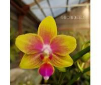 Phalaenopsis I-Hsin Venus IS 1442