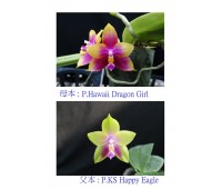 Phalaenopsis KS Happy Eagle x Hawaii Dragon Girl