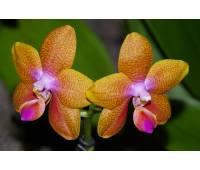 Phalaenopsis Pingtung Bronze Age
