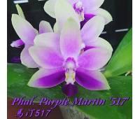 Doritaenopsis Purple Martin '517'