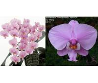 Phalaenopsis schilleriana 'Pink Butterfly' AM/AOS