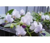Phalaenopsis Su's Glad Kid 'Blue'