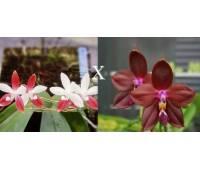 Phalaenopsis Miki C1 Bear