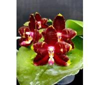 Phalaenopsis YangYang Prince
