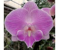 Phalaenopsis Yu Pin Fireworks 'Pink Kiss'