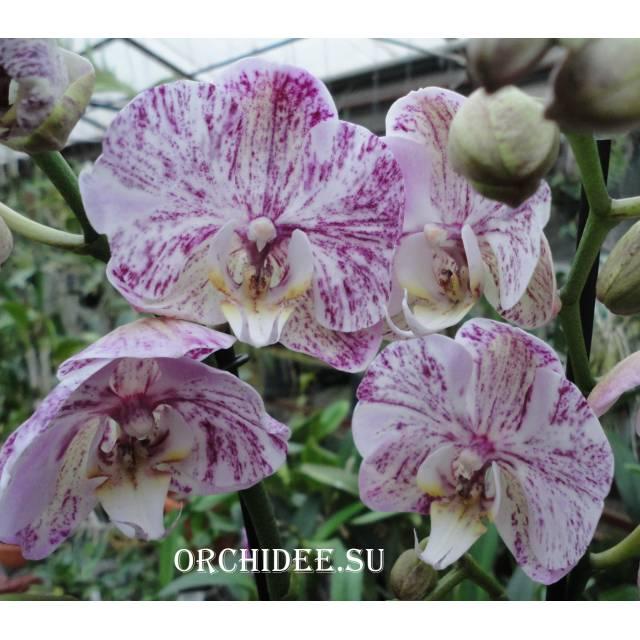 Phalaenopsis PH 004