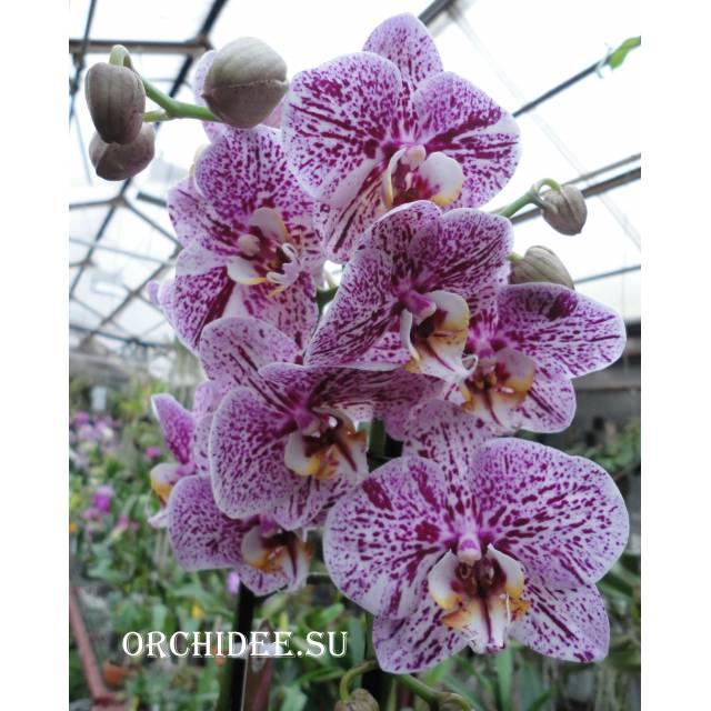 Phalaenopsis PH 008