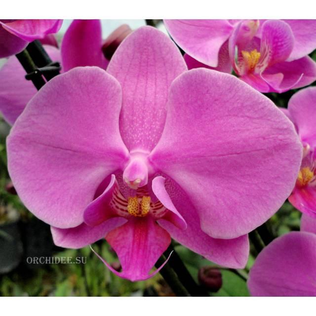 Phalaenopsis PH 014 Pasadena