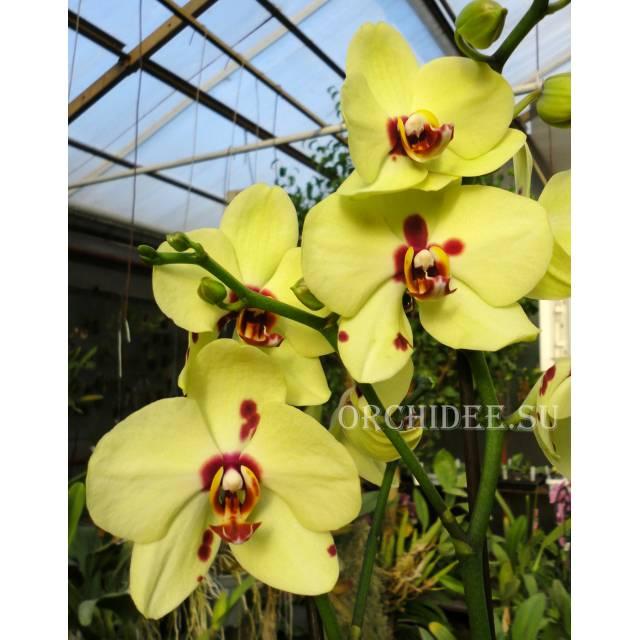 Phalaenopsis PH 037