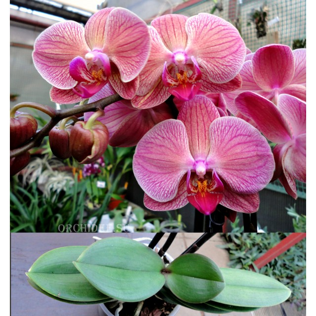 Phalaenopsis PH 038