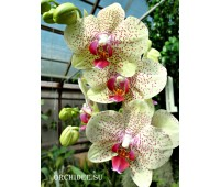 Phalaenopsis PH 049