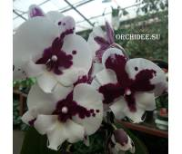 Phalaenopsis PH 068 Big Lip Sparkling Kizz