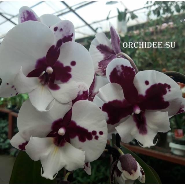 Phalaenopsis PH 068 Big Lip Sparkling Kizz
