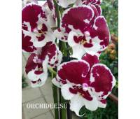Phalaenopsis PH 069 Untold Stories Big Lip