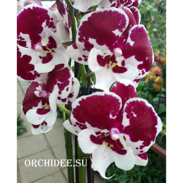 Phalaenopsis PH 069 Untold Stories Big Lip