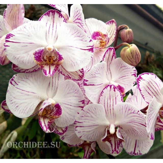 Phalaenopsis PH 102 Utopia