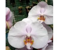 Phalaenopsis PH 110
