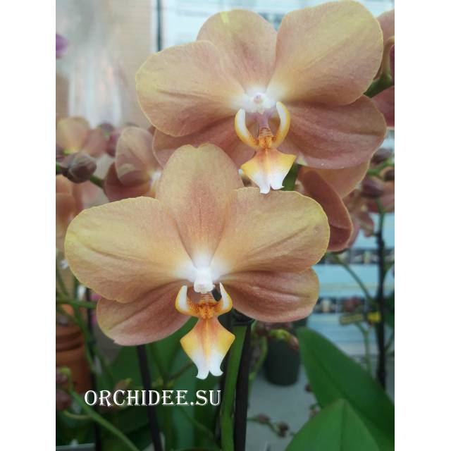 Phalaenopsis PH 119 Monaco