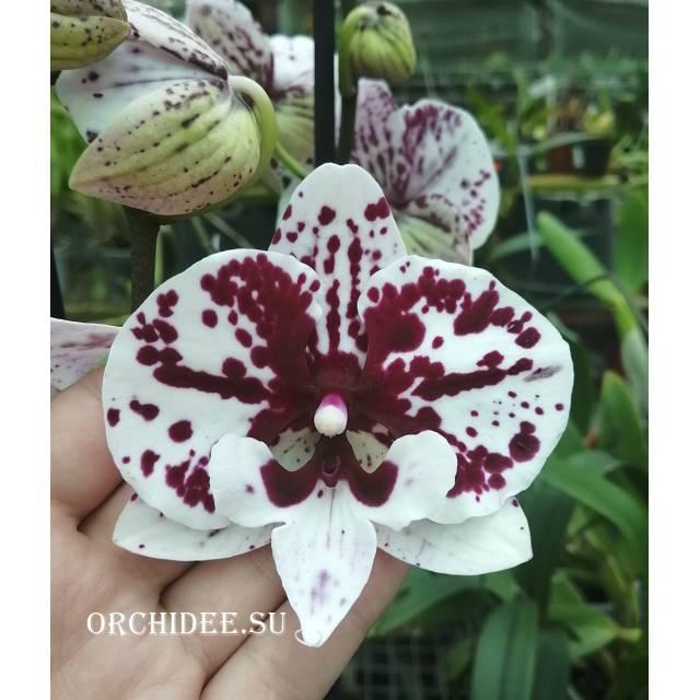 Phalaenopsis PH 132 Polka Big Lip