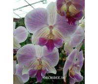 Phalaenopsis PH 137 Manta Maldives Big Lip
