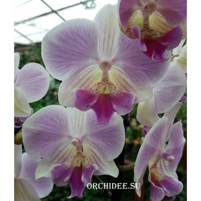 Phalaenopsis PH 137 Manta Maldives Big Lip