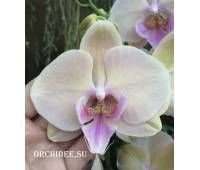 Phalaenopsis PH 140 Big Lip