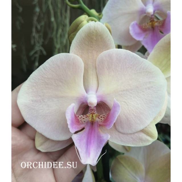 Phalaenopsis PH 140 Big Lip
