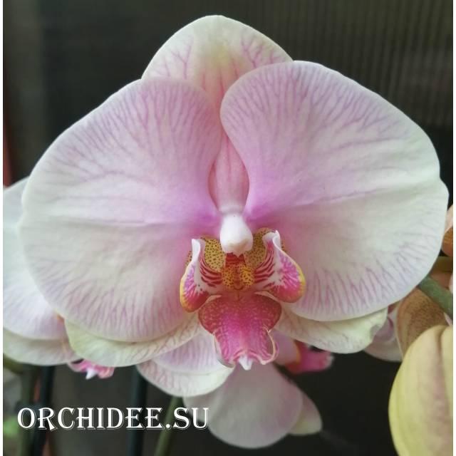 Phalaenopsis PH 232