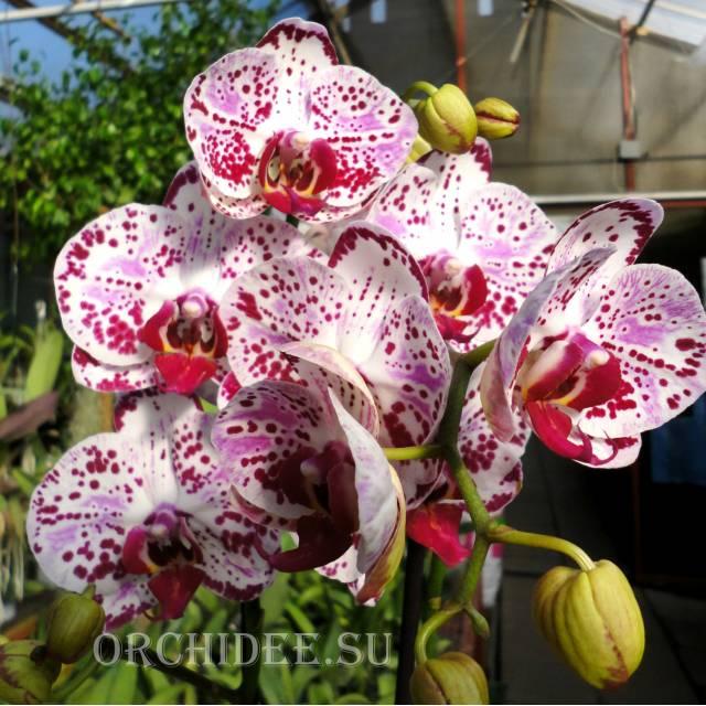 Phalaenopsis PH 243