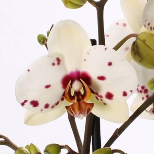 Phalaenopsis PH 245 Good Times