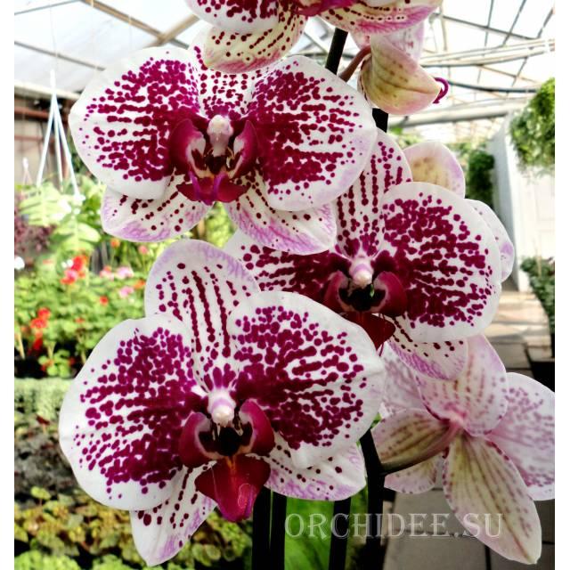 Phalaenopsis PH 248 Sogo Magic