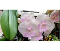 Phalaenopsis PH 250 Big Lip