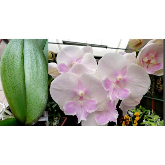 Phalaenopsis PH 250 Big Lip