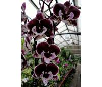 Phalaenopsis PH 251 Big Lip
