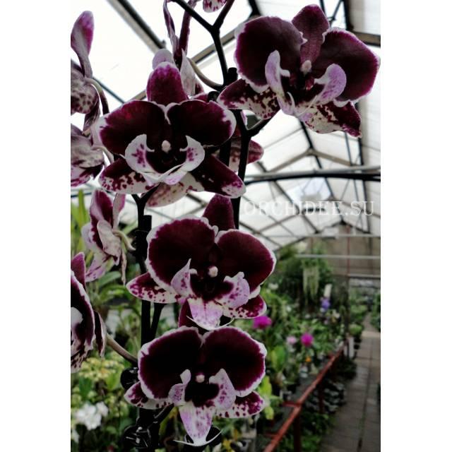 Phalaenopsis PH 251 Big Lip