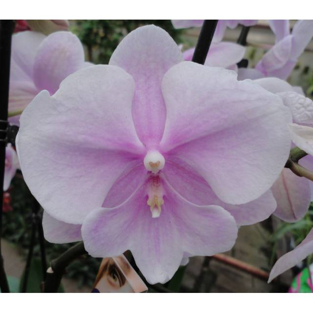 Phalaenopsis PH 252 Big Lip