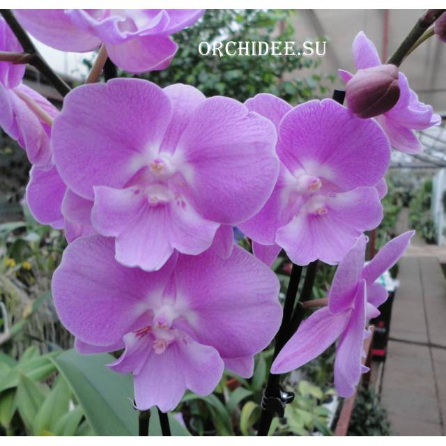 Phalaenopsis PH 257 Big Lip